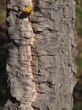 [Quercus suber]